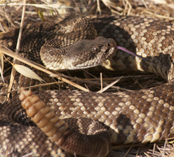 Rattlesnake Safety